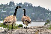 Geese Walking Away
