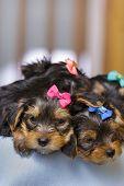 Sleepy Yorkshire Terrier Puppies