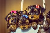 Yorkshire Terrier Puppies In A Basket