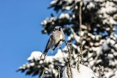 Blue Jay Sitting On A Limb