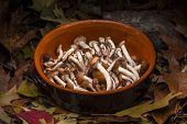 Autumnal still life composition: clay pot and honey mushrooms