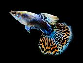 Beautiful Guppy Isolated On Black Background