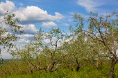 Small olive grove under the blue sky