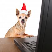 a chihuahua surfing the internet on a laptop on a white background with a santa hat on for christmas