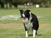 stock photo of heeler  -  a cute dog in the grass at a park during summer  - JPG