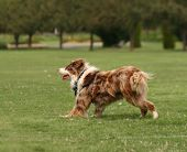 stock photo of cattle dog  -  a cute dog in the grass at a park during summer  - JPG