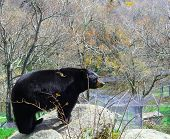 Large Black Bear on rock