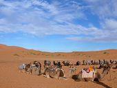 Circle Of Camels In Erg Chebbi Sahara Desert