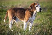foto of foxhound  - Beagle on meadow - JPG