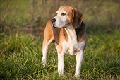 foto of spotted dog  - Beautiful purebred smart beagle hunting dog in summer pasture - JPG