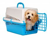 foto of crate  - Cute happy reddish havanese puppy dog is looking out from a blue and gray pet crate isolated on white background - JPG