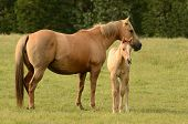 stock photo of paint horse  - American paint mare and colt horse on a cattle ranch in the Umpqua Valley near Roseburg Oregon - JPG
