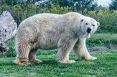 Polar Bear With Grumpy Face