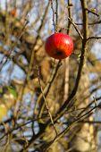 Single Apple On A Tree