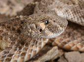 Western Diamondback Rattlesnake.