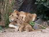 Постер, плакат: Lion Sisters
