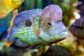 picture of freshwater fish  - Akara turquoise Cichlid  - JPG