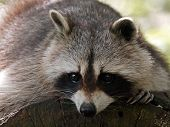 picture of raccoon  - Portrait of a Raccoon lying on a tree - JPG
