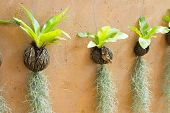 picture of tillandsia  - Spanish moss hanging strand and Bird of nest fern - JPG