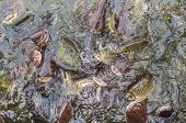 stock photo of hypophthalmus  - image of feeding many of Striped catfish  - JPG