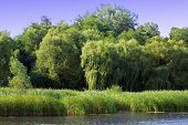 image of weeping willow tree  - green willow with other trees on the river bank - JPG