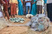picture of catching fish  - Indian fishing nets and a daily fish catch sold by locals - JPG