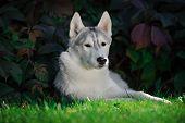 picture of husky  - majestic portrait of grey black purebread husky dog lying on green grass - JPG