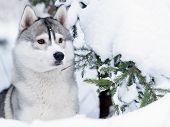 image of husky sled dog breeds  - siberian husky dog gray and white winter portrait - JPG