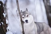 pic of husky sled dog breeds  - siberian husky dog gray and white winter portrait - JPG