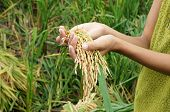 stock photo of food crops  - World food security a global problem famine at africa children need to help poor people need food to live kid hand with sheaf of paddy on Asia rice field - JPG