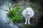 image of arctic fox  - An Arctic fox, Vulpes lagopus, near a marsh