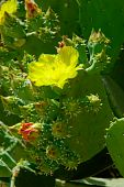 Flowering Cactus. Beautiful Yellow Flower And Small Buds.
