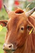 image of zebu  - zebu head closeup portrait of animal taken at the farm - JPG