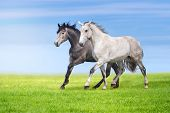 stock photo of galloping horse  - Couple of grey horses run gallop on gree grass against beautiful sky - JPG