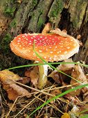 picture of toadstools  - toadstool growing next to the tree in autumn forest - JPG