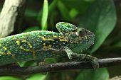 picture of chameleon  - Veiled chameleon  - JPG