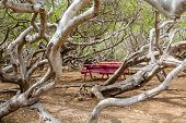 picture of curacao  - Manchineel tree or poison apple tree on Curacao with colorful picnic benches - JPG