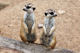 foto of meerkats  - Meerkat  - JPG