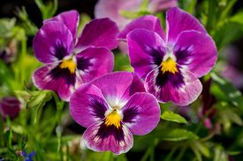 stock photo of viola  - Botanic gardening plant nature image: group of three bright violet pansy (viola tricolor Viola cornuta) closeup among green plants over blurred background.