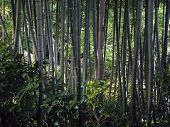 stock photo of bamboo forest  - a view from a bamboo forest - JPG