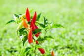chili hot peppers plant in red orange and yellow