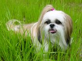 picture of dog breed shih-tzu  - dog playing in the grass with tongue hanging out - JPG
