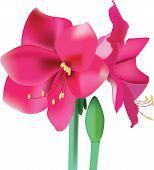 Beautiful Pink Flower Amaryllis