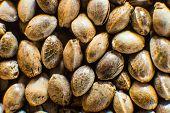 Hemp Seeds Background In Macro. Many Cannabis Seeds. Organic Hemp Seed. Macro Detail Of Marijuana Se poster