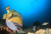 Titan Triggerfish fish  poster