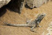 Bearded Dragon,pogona Vitticeps