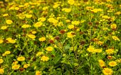 Budding, Yellow Flowering And Overblown Common Fleabane Or Pulicaria Dysenterica Plants In A Dutch N poster