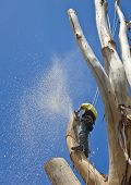 picture of arborist  - Arborist using safety harness while pruning a large tree - JPG