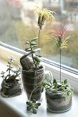 Succulent Houseplant Growing On Windowsill:  Air Plant Tillandsia Ionantha And Jade Plant And Sedum  poster