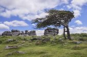 Windswept Hawthorn Tree At Combestone Tor, Dartmoor, Devon, Uk poster